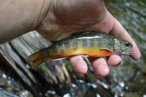 Brook trout, Southern Appalachian Brook Trout, Fly Fishing the Smokies, Fly Fishing Pigeon Forge, Fly Fishing Sevierville, Fly Fishing Guides Pigeon Forge, Fly Fishing Guides in Sevierville, Fly Fishing Guides in Gatlinburg, Fly Fishing Tennessee, Fly Fishing Guides Great Smoky Mountains National Park,