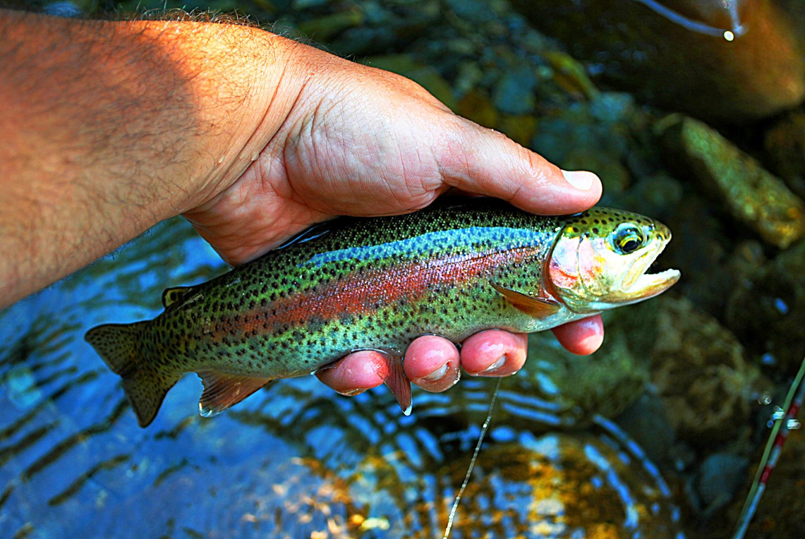 Fly fishing gatlinburg and pigeon forge tennessee for Smoky mountain trout fishing